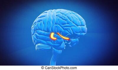 -, hersenen, deel, hippocampus