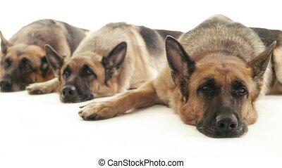 5of14, alsatian, honden, huisdieren, studio
