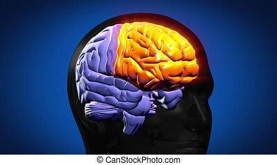 aangepunt, hersenen, onderdelen