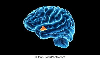 aangepunt, hypothalamus