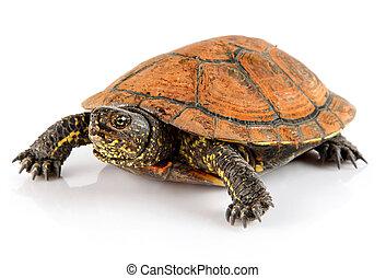 aanhalen, witte , schildpad, dier, vrijstaand
