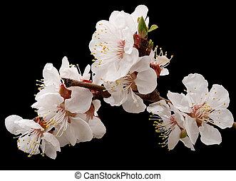 abrikoos, bloeien