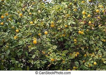 achtergrond., citroenen, boompje, rijp, citroen, dronken