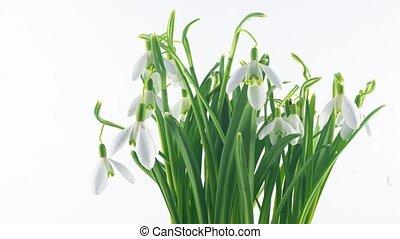 achtergrond, concept, bouquetten, bloemen, lente, close-up., opening, galanthus, pasen, lapse., 4k, witte , tijd, snowdrop, lente, timelapse, sleutelbloem, bloemen