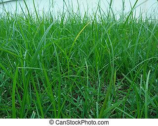 achtergrond, gras