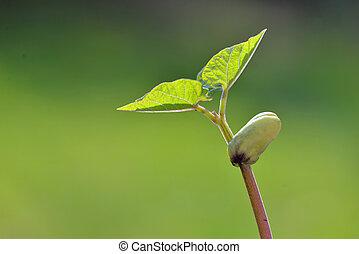 achtergrond, spruit, boon, groeiende, groene, afsluiten