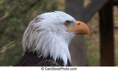 adelaar, amerikaan, kaal, leu, (haliaeetus
