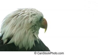 adelaar, amerikaan, kaal, verticaal