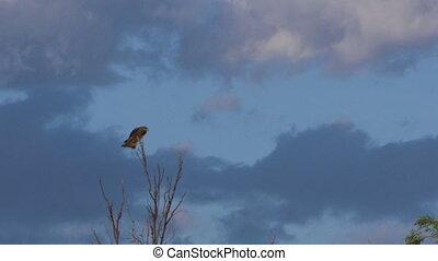 adelaar, bovenzijde, boompje, zittende
