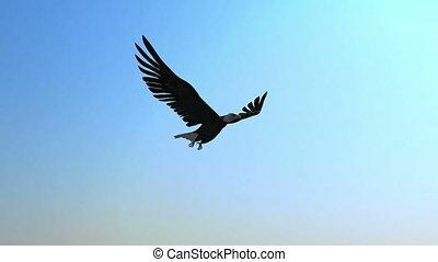 adelaar, kaal