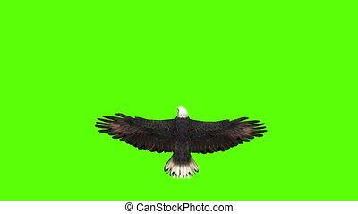 adelaar, scherm, groene, aanzicht, bovenzijde, kaal