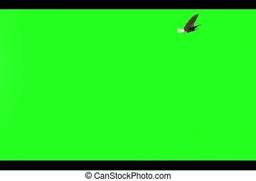 adelaar, scherm, kaal, groene