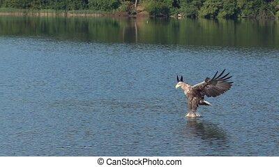 adelaar, whitetailed, jacht