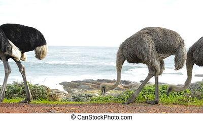 afrika, zuiden, struisvogel
