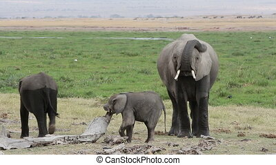 afrikaan, jonge, kalveren, elefant