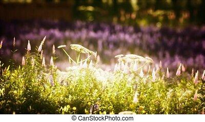 akker, bloem, wild, ondergaande zon