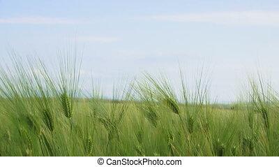 akker, close-up, wheat.