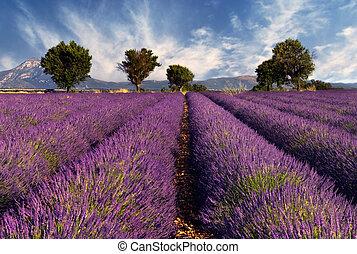 akker, lavendel, provence, frankrijk