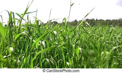 akker, wandelende, gras