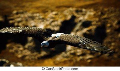 alaskan, kaal, op, amerikaanse adelaar, bergen, vertragen, vlucht, motie