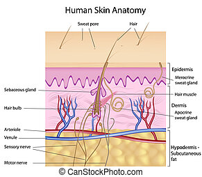 anatomie, menselijke huid