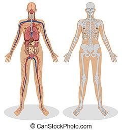 anatomie, vrouw, menselijk