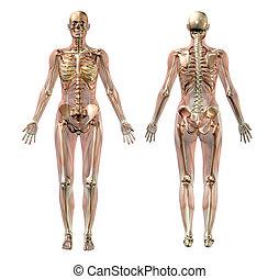 anatomie, vrouwlijk, ?µ?d??fa???