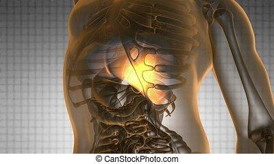 anatomie, wetenschap, lever, menselijk, scanderen