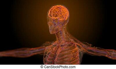 anatomisch, medisch, mannelijke , scanderen
