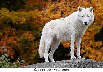 arctisch, het kijken, fototoestel, wolf, vallen dag