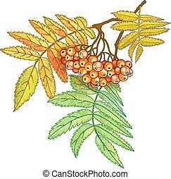 autumn leaves, besjes, rowan, tak