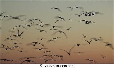 avond, vliegen, hemel, getal, gulls, groot, 2, tegen