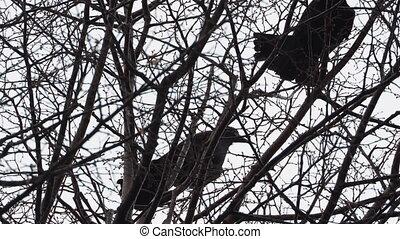 away., dan, groot, vliegen, boompje, black , paar, zittende , ravens
