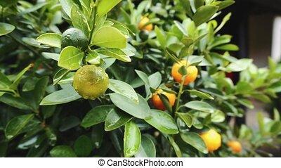 azie, boom., mandarijn, vietnam