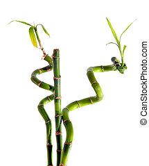 bamboe, witte