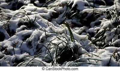 bedekt, slingeren, gras, sneeuw, wind.
