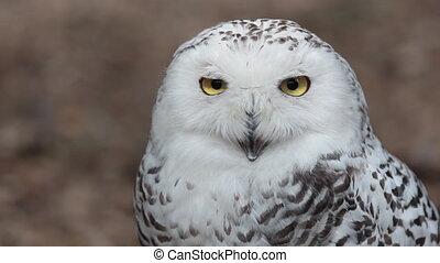 beeldmateriaal, (bubo, sneeuwuil, hd, scandiacus), natuur, mooi