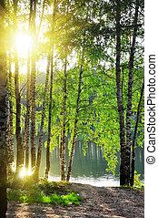 berk, bos, zomer, bomen