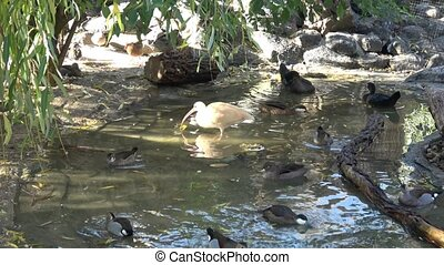 birds., velen, waterfowl, wild, ducks.