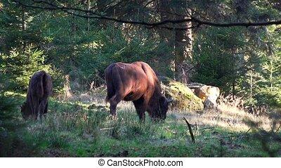 bizon, bos, europeaan