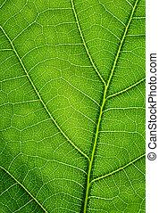blad, eik, textuur, achtergrond., groene, closeup.
