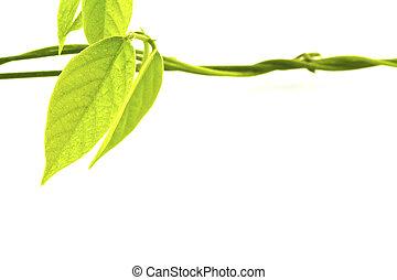 blad, water, groene achtergrond, witte , druppels