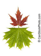 bladeren, esdoorn