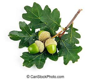 bladeren, groene, eikeltjes, vruchten