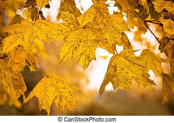 bladeren, ondiepe focus, herfst, achtergrond, esdoorn