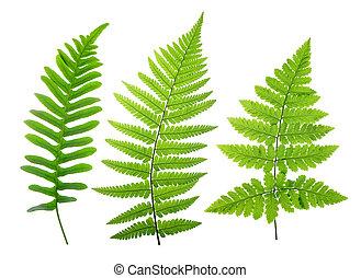 bladeren, set, groene, varen