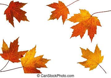 bladeren, verspreid, achtergrond, herfst, witte , esdoorn