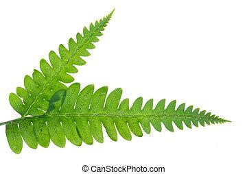 bladeren, vrijstaand, groene, varen, witte