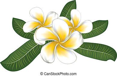 bladeren, witte , plumeria