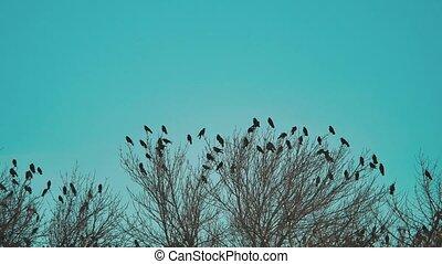 blauwe , droog, concept, levensstijl, sky., boompje, boeiend, hemel, vogel, herfst, kraaien, boom., black , van, vlucht, ravens, vogels